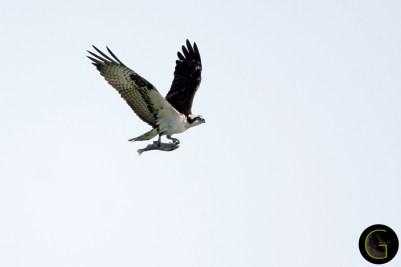 Hawk Osprey-5 (5)