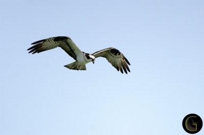 Hawk Osprey-5 (7)