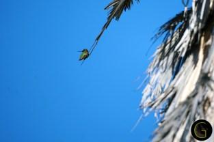 Humming-Bird-24