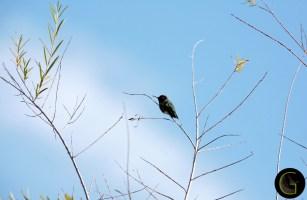 Humming-Bird-28