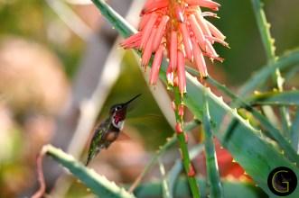 Humming-Bird-8