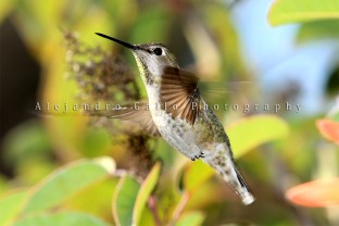 hummingbirds-3-croped--tif