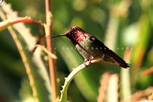 hummingbirds-4-croped--tif