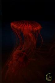 Medusa-4