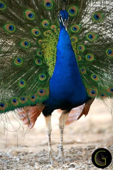 peacock-9