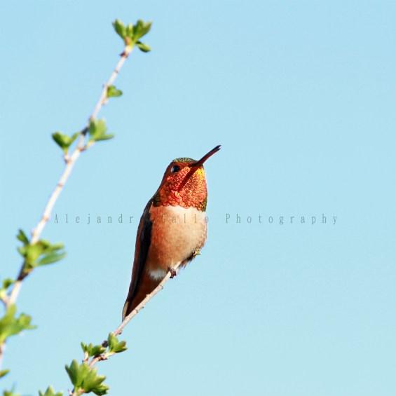 Rufous-Hummingbird-2-20-x-20