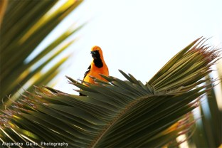 Hooded-Oriole-01