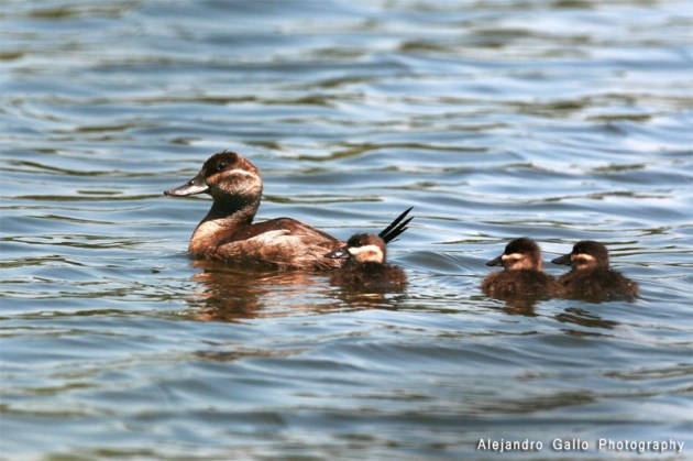 Ruddy-Dock-Female-with-Babies-01