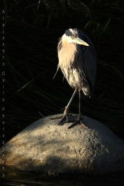 Injured-LA-River-Great-Blue-Heron-2-72dpi