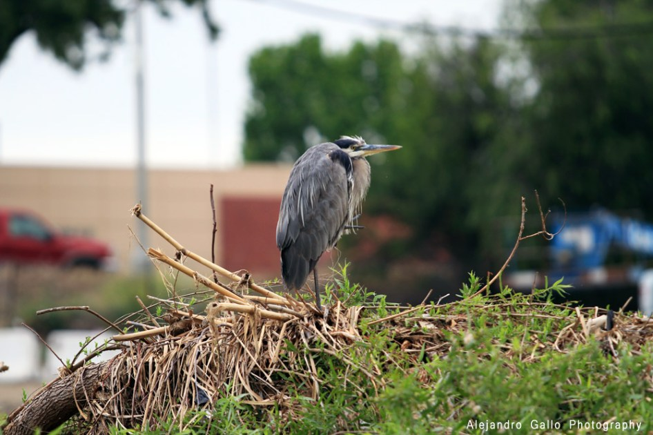 Injured-LA-River-Great-Blue-Heron---5-72dpi