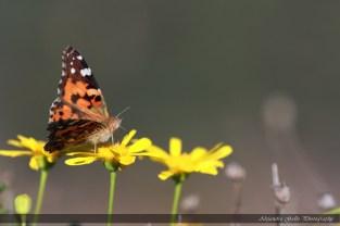Butterfly-07