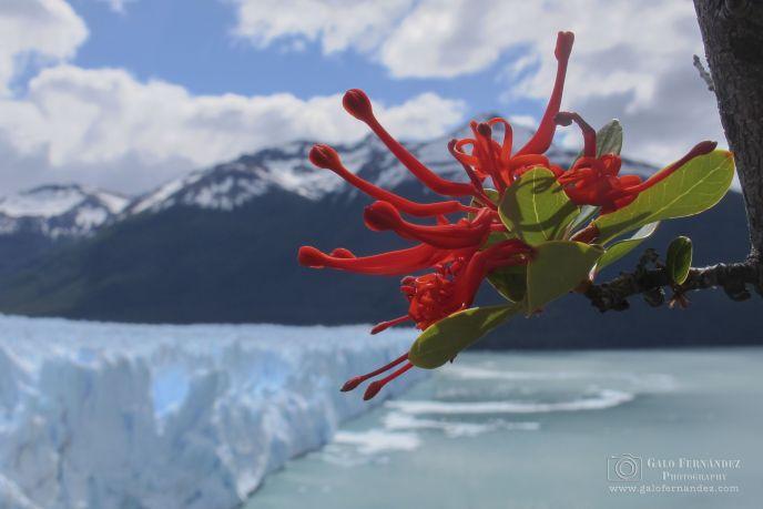 Notro o Ciruelillo (Embothrium Coccineum) Es un árbol de altura baja y hoja perenne, con una flor de color rojo intenso.