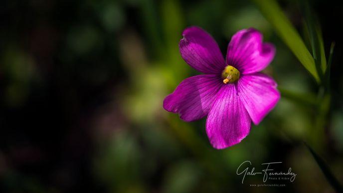 Vinagrillo (Oxalis Articulata), Colonia del Sacramento - UY