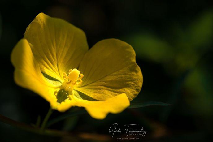 Onagra Amarilla (Oenothera Biennis), Colonia del Sacramento - UY