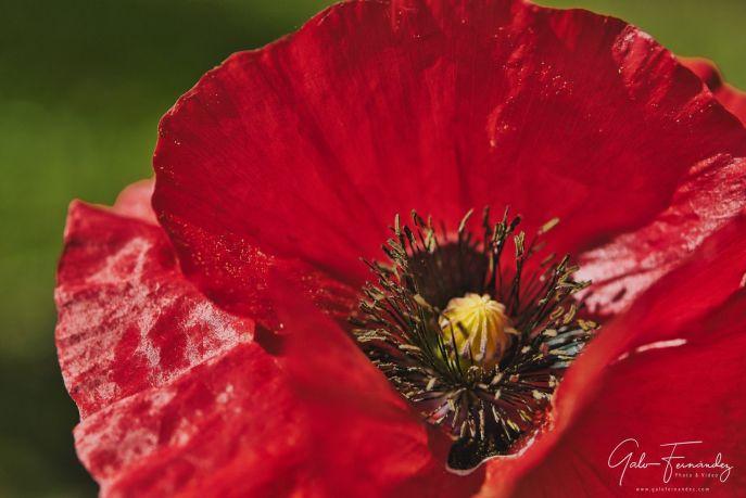 Amapola Roja (Papaver Sommiferum) - PBA.