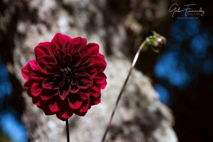 Lovely Carmine (Dark Red) Arabian Night Dahlia or Decorative Dahlia on a garden. Gentle movements under the summer breeze-Web