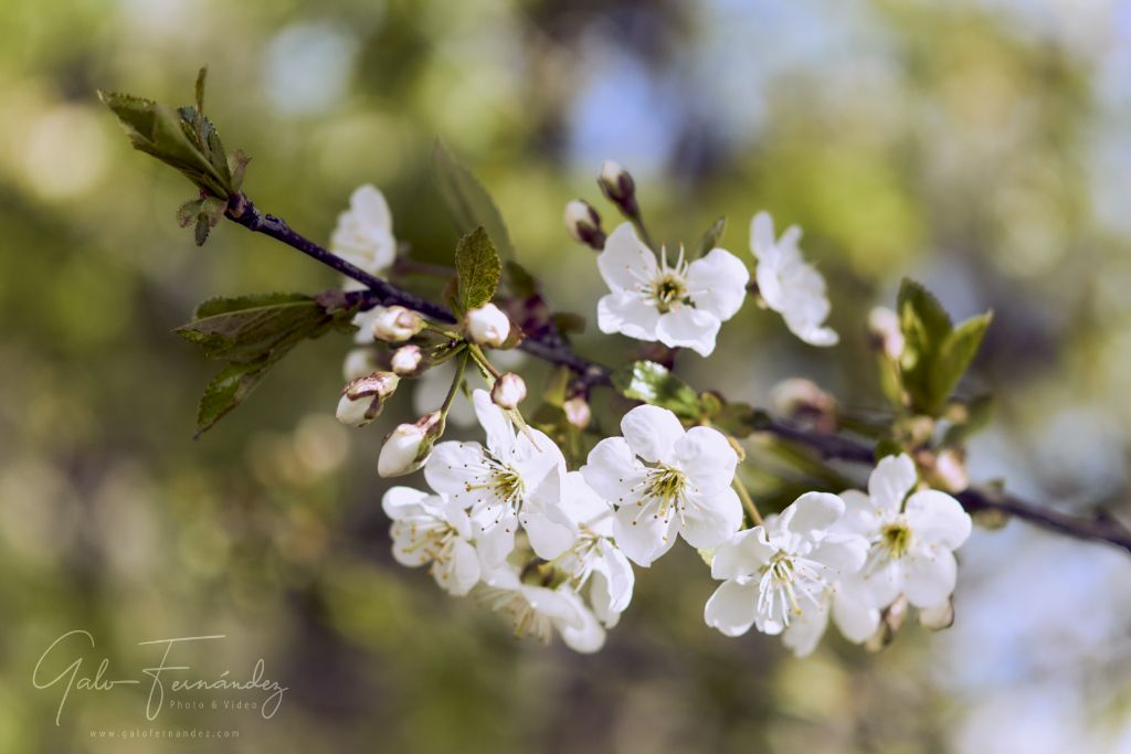 Manzanos Patagónicos en Flor - CH