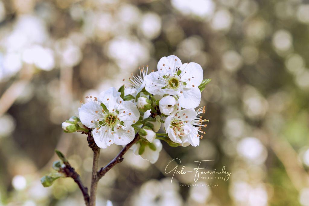 Manzanos Patagónicos en Flor - RN