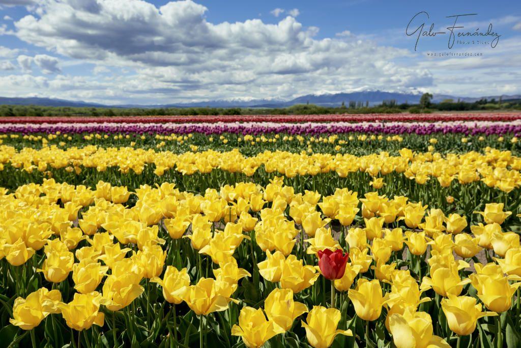 Tulipanes Amarillos, Trevelin - CH