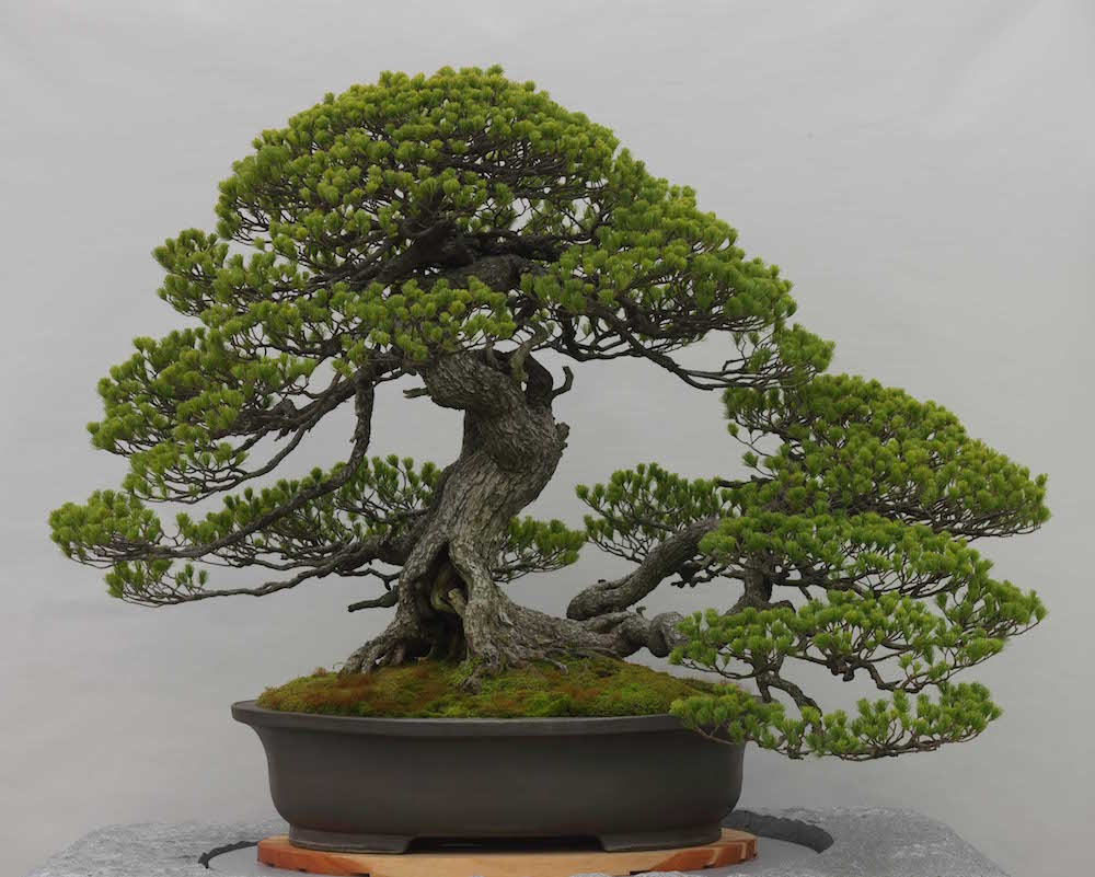 Bonsai for Olivo bonsai prezzo