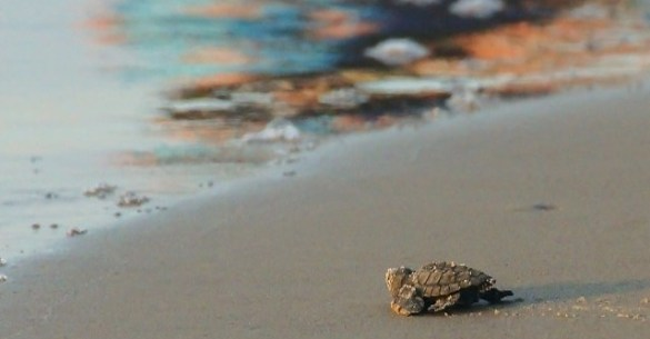 cmr-sea-turtle