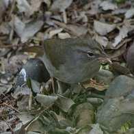 Olive Sparrow3.jpgs