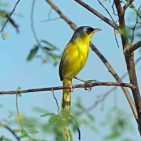 GC Yellowthroat s