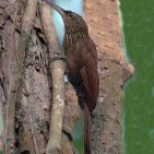 Streak-headed Woodcreeper s
