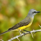 Tropical Kingbird thorns s