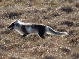 Arctic Fox ch.jpgs