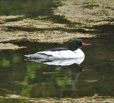 Common Merganser m on pond.jpgs