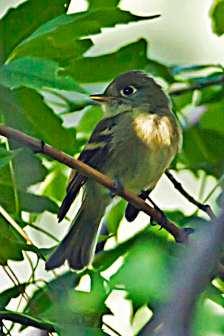 Hammond's Flycatcher s