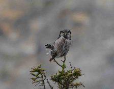 Hawk-owl atop ss