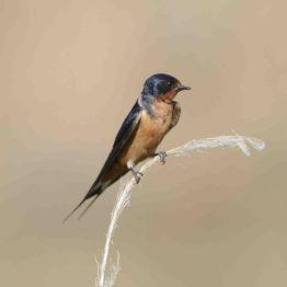 Barn Swallow ss