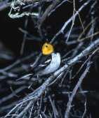 Hermit Warbler m.jpgs