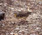 W Meadowlark on ground.jpgs