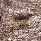 W Meadowlark on ground.jpgs