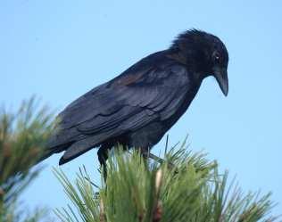 Fish Crow in pine.jpgs