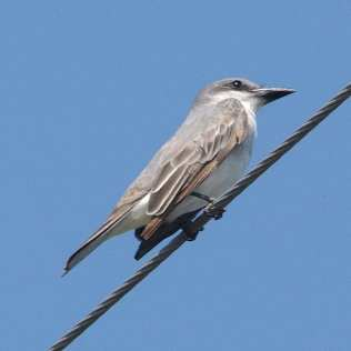 Gray Kingbird.jpgs