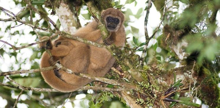 Febre amarela atinge macacos com risco de extinção no Brasil
