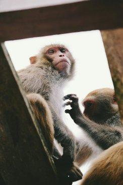 Affen lausen sich gegenseitig
