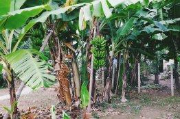 Bananen im Vorgarten