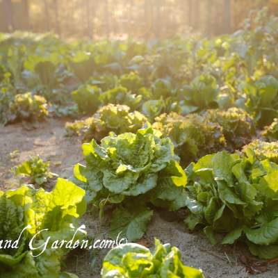 Hold Some Lettuce: How to harvest lettuce and cabbage