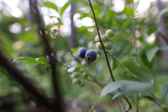 I know it's the beginning of summer when blueberries become ripe here in Alabama! I love the wild ones and the cultivated ones. They are simply perfect for eating right from the bush or preparing a savory sauce for your beef loin!