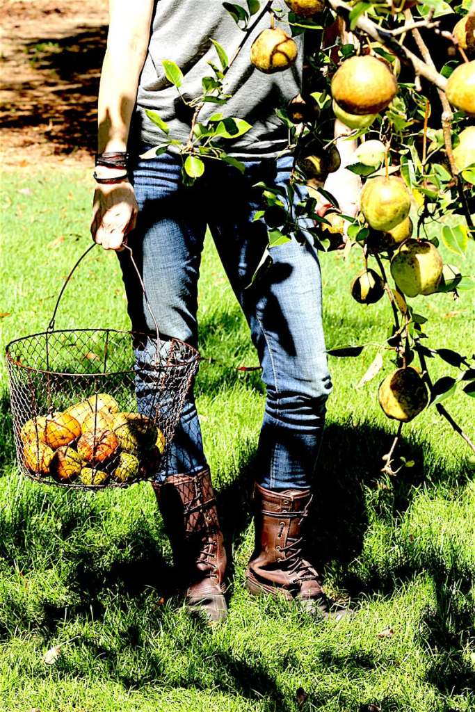 """Hybrid Pears need to """"age"""" at room temperature for a week to 10 days for optimal texture and flavor. If you want to store longer, put them in a 60 degree dark place and they will last for up to 2 months."""