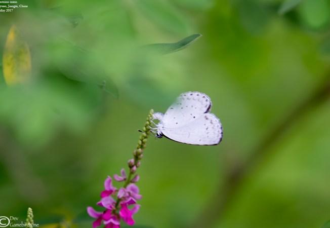 Common Name : None ; Scientific Name : Celestrina oreas ; Chinese Name : 大紫琉璃灰蝶 / Dà zǐ liúlí huī dié ; Location : Wuyuan, Jiangxi