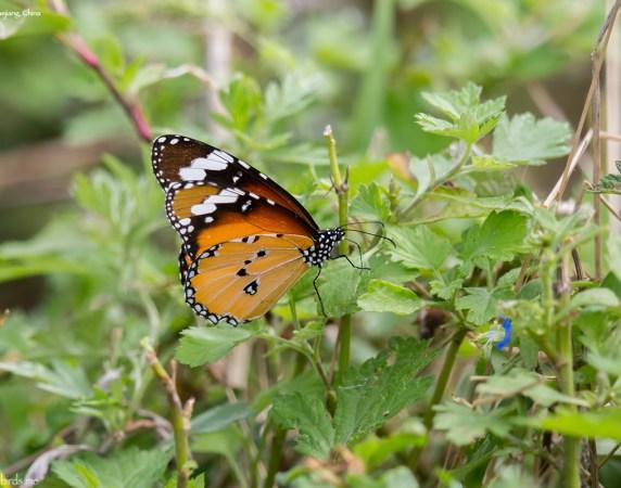 Common Name : Plain Tiger ; Scientific Name : Danaus chrysippus ; Chinese Name : 金斑蝶 / Jīn bān dié ; Location : XiaoYangshan, Zhejiang