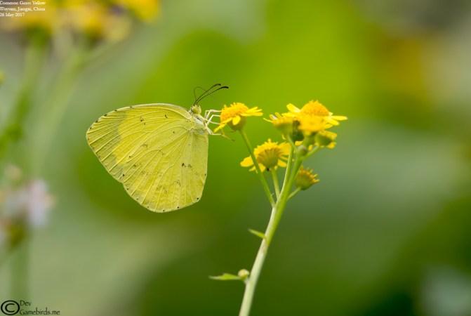 Common Name : Common Grass Yellow ; Scientific Name : Eurema hecabe ; Chinese Name : 宽边黄粉蝶 / Kuān biān huáng fěndié ; Location : Wuyuan, Jiangxi