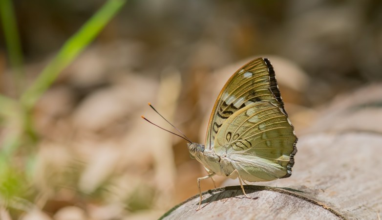 Common Name : None ; Scientific Name: Euthalia pratti ; Chinese Name: 珀翠蛱蝶 / Pò cuì jiá dié ; Location : Jingshan, Zhejiang