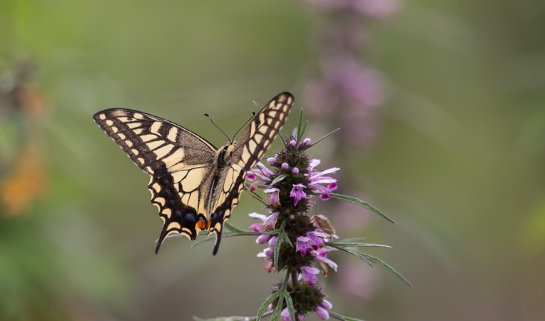 Common Name : Old World Swallowtail ; Scientific Name : Papilio machon ; Chinese Name : 金凤蝶 / Jīn fèng dié ; Location : Wuyuan, Jiangxi